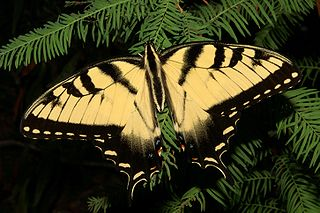 <i>Papilio glaucus</i> species of insect