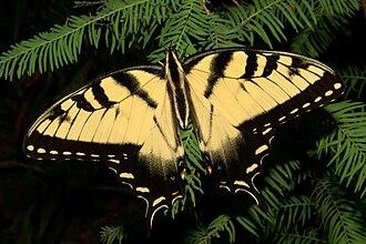 Papilio glaucus - Male