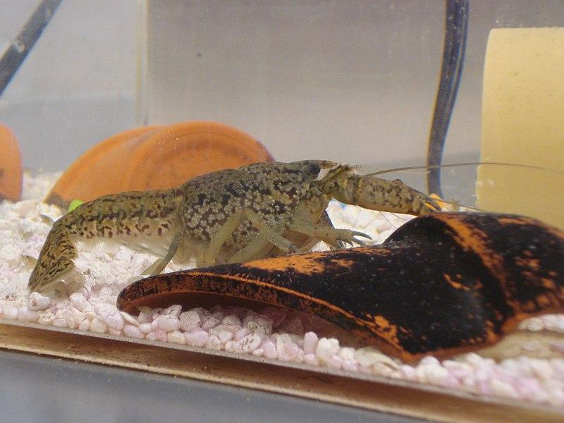 File:Procambarus fallax forma virginalis.jpg