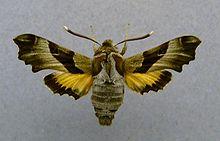 220px-Proserpinus_proserpina.jpg