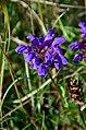 Prunella grandiflora (8248156632).jpg