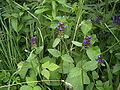 Prunella vulgaris plant1.jpg