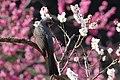 Prunus Mume And Bird (140106729).jpeg
