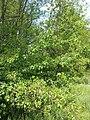 Prunus mahaleb sl23.jpg