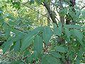 Prunus serrula 844.JPG