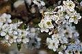 Prunus spinosa flowers in Sweden.jpg