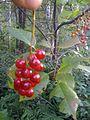 Prunus virginiana, cerises de virginie, cerises à grappes, chokecherry (4835576087).jpg