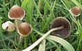 Psathyrella gracilis 132503 cropped.jpg