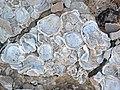 Pseudoperna congesta fossil osyters encrusting a Platyceramus platinus shell.jpg