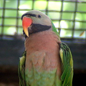 Red-breasted parakeet - Image: Psittacula alexandri Jerusalem Biblical Zoo 4 3c