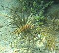 Pterois miles jung.jpg
