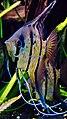 "Pterophyllum scalare - ""Rio Nanay"" - souche sauvage - Aqua Porte Dorée 03.JPG"