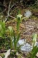 Pterostylis australis kz07.jpg