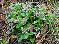 Pulmonaria officinalis 125970582.jpg