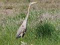 Purple Heron at Rietvlei Wetlands (29813835187).jpg