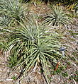 Puya coerulea - San Francisco Botanical Garden - DSC09878.JPG