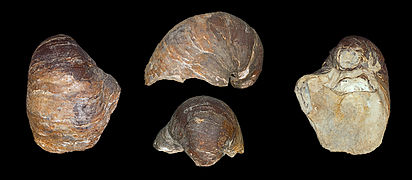Pycnodonte vesicularis MHNT.PAL.LAM.2001 Global.jpg