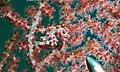 Pygmy Seahorse (Hippocampus bargibanti) (6059462812).jpg