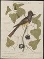 Pyrocephalus crinitus - 1700-1880 - Print - Iconographia Zoologica - Special Collections University of Amsterdam - UBA01 IZ16500347.tif