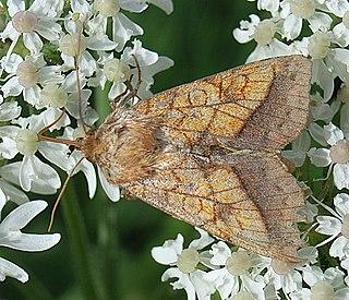 <i>Pyrrhia umbra</i> Species of moth
