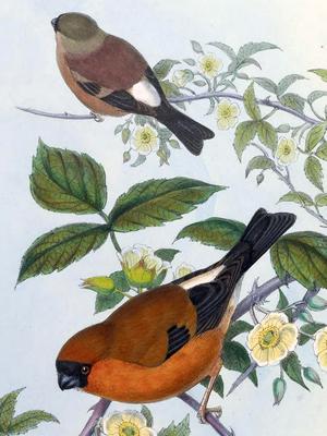Orange bullfinch - Image: Pyrrhula aurantiaca