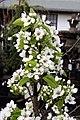 Pyrus pyrifolia Twentieth Century 3zz.jpg