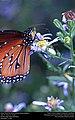 Queen Butterfly (Nymphalidae, Danaus gilippus) (30422394894).jpg