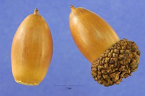 Two acorns of Quercus alba