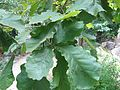 Quercus dentata1.jpg
