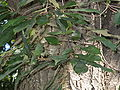 Quercus gilva2.jpg