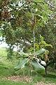Quercus ilex kz03.jpg