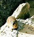RSA Rock Dassie.jpg