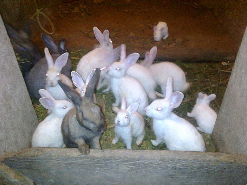 File:Rabbits at my home.jpg