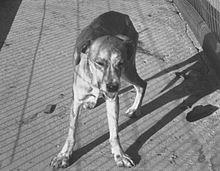 Un cane rabbioso