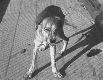 Dog health - A rabid dog