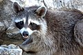 Raccoon, Young (179494277).jpg