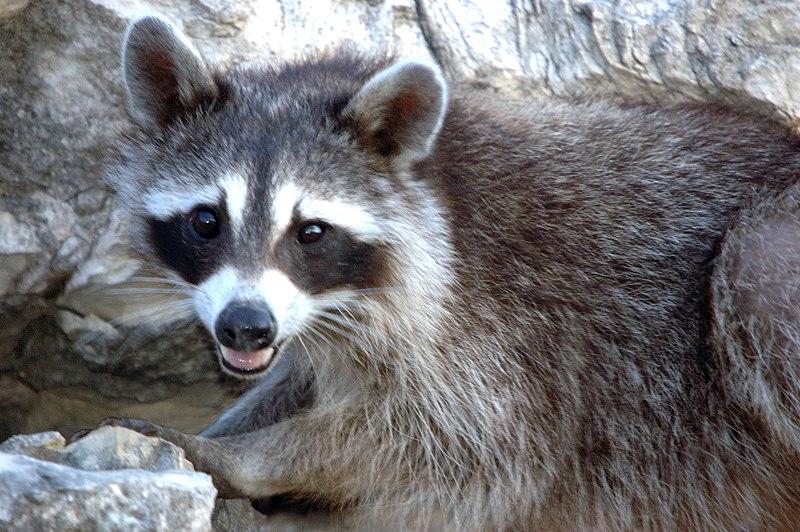 Raccoon, Young (179494277).jpg