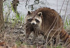 Raccoon, female after washing up mirror image.jpg