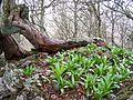Raices de tejo en el hayedo otoñal. La Cotorra de Escobaño. Oseja de Sajambre (León). Parque Nacional Picos de Europa. ES000003. ROSUROB.JPG