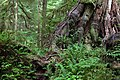 Rainforests of Pacific Rim National Park Reserve, Canada.jpg