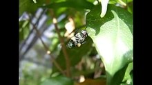 File:Raising-the-Sugar-Content-–-Orchid-Bees-Overcome-the-Constraints-of-Suction-Feeding-through-pone.0113823.s003.ogv