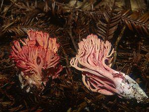 Ramaria araiospora - The red color fades in mature specimens.