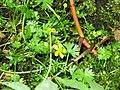 Ranunculus gmelinii 8-eheep (5097958354).jpg