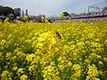 Rape blossoms and Honeybee - panoramio.jpg