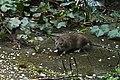 Rattus norvegicus (25854086324).jpg