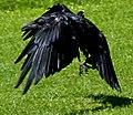 Raven 1a (7637977306).jpg
