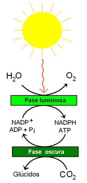 File:Reacciones de la fotosíntesis.PNG - Wikimedia Commons