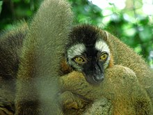 Red-fronted-lemur.jpg