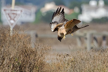 The typical hunting method of red-tailed hawks is to dive down on its prey from a lofty perch. Red-tailed Hawk (Buteo jamaicensis) -diving.jpg