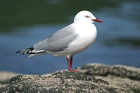 Red Billed Gull, on South Island, New Zealand.jpg